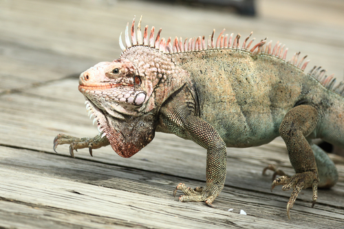 Closeup view of a wild iguana in a sunnay day